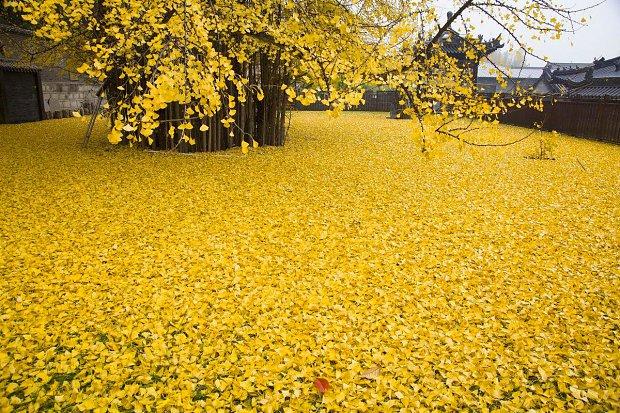 l_14582788a9b9601Chinese_Ginkgo_Tree_.jpg