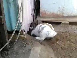 Dobry ziomek królik ratuje swojego przyjaciela kitku