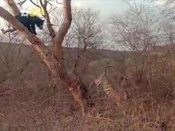Przed kim niedźwiedź ucieka na drzewo?