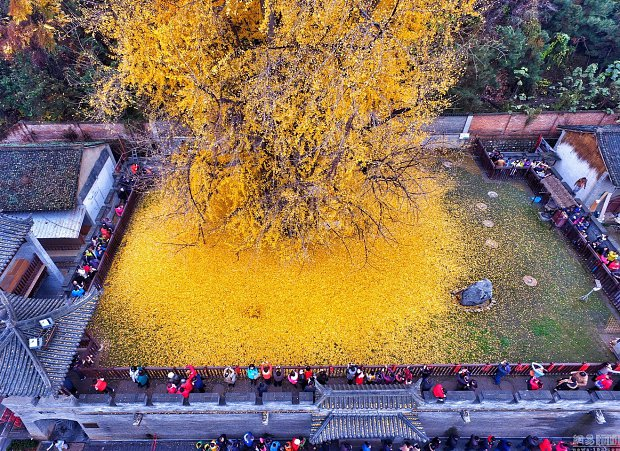 l_14582765846cd37Chinese_Ginkgo_Tree_.jpg