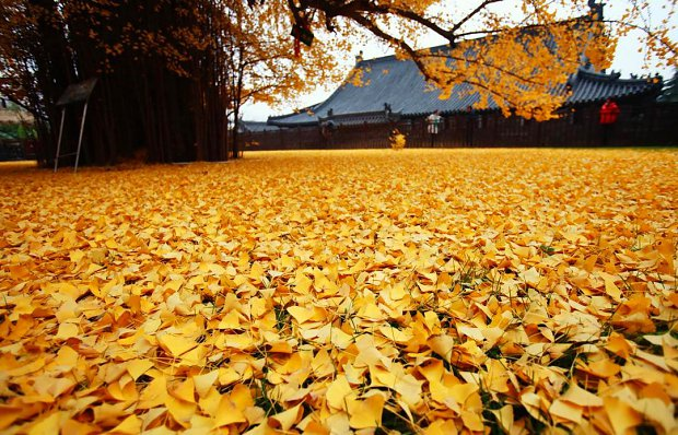 l_1458277a02329a2Chinese_Ginkgo_Tree_.jpg